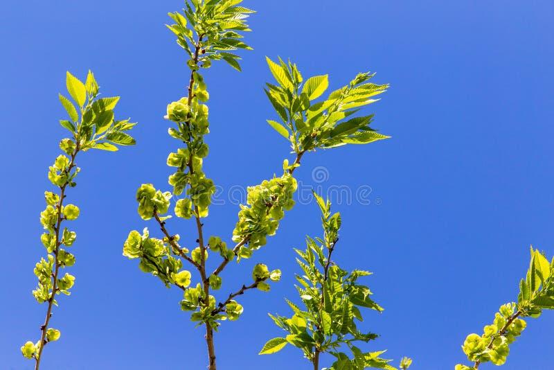 反对一天空蔚蓝的小绿色叶子在春天 库存图片