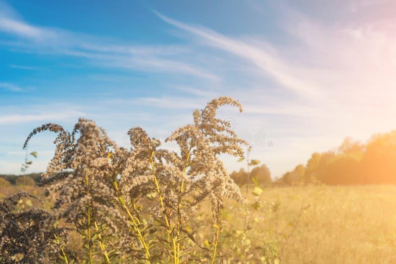 反对一天空蔚蓝的杂草与以火焰的形式云彩在日落 库存照片