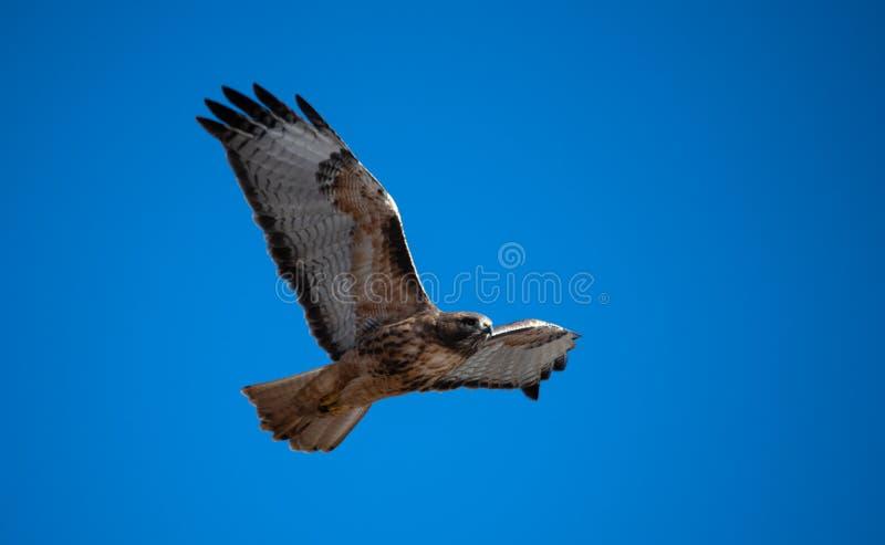 反对一深天空蔚蓝的红色尾巴鹰 库存图片