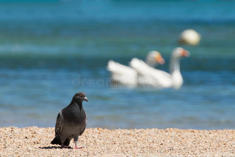 反对两只天鹅的鸽子在波尔图Rafti在希腊 免版税库存图片