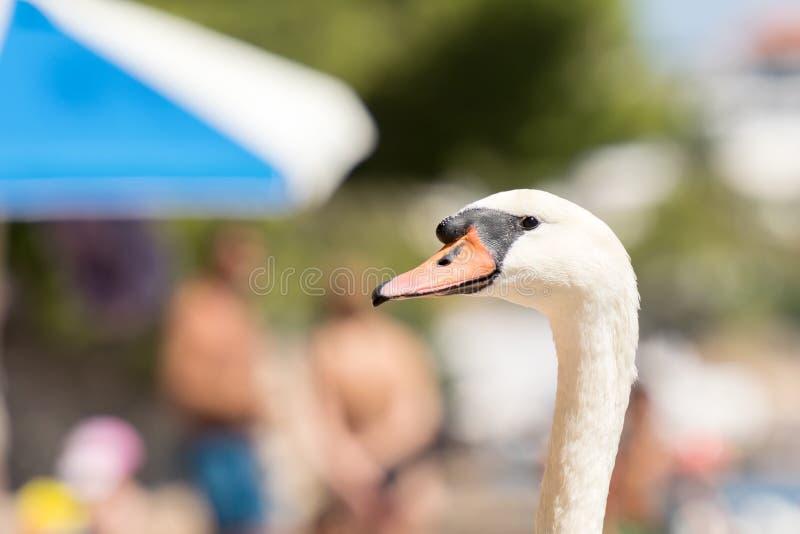 反对人的滑稽的天鹅画象一个海滩的在波尔图Rafti在希腊 暑假的滑稽的图片 库存图片