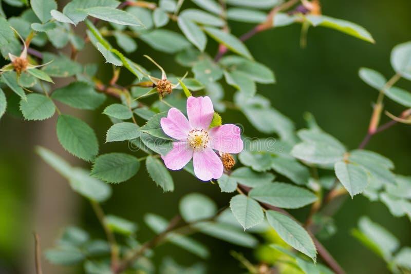 反对叶子背景的桃红色花在宏观和软的焦点 免版税库存图片