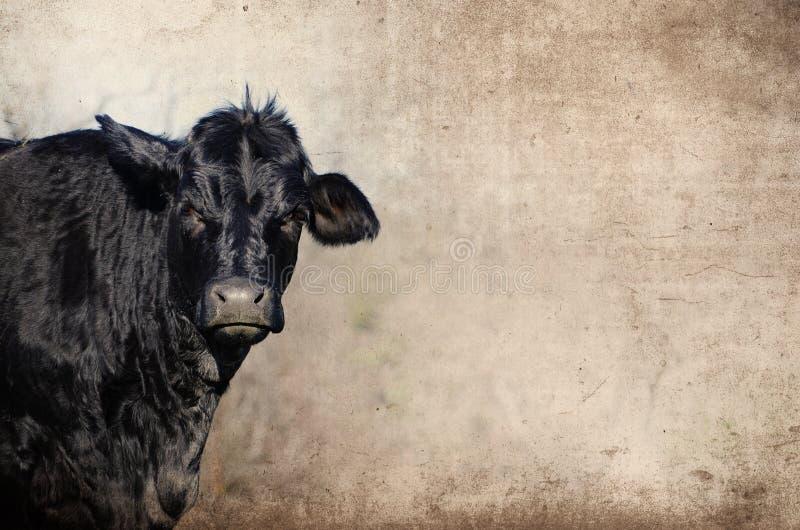反对土气难看的东西背景的黑安格斯小牝牛 显示农业奶牛场 免版税库存照片