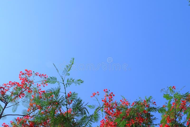 反对在蓝天的红色火焰Boyant花 免版税图库摄影