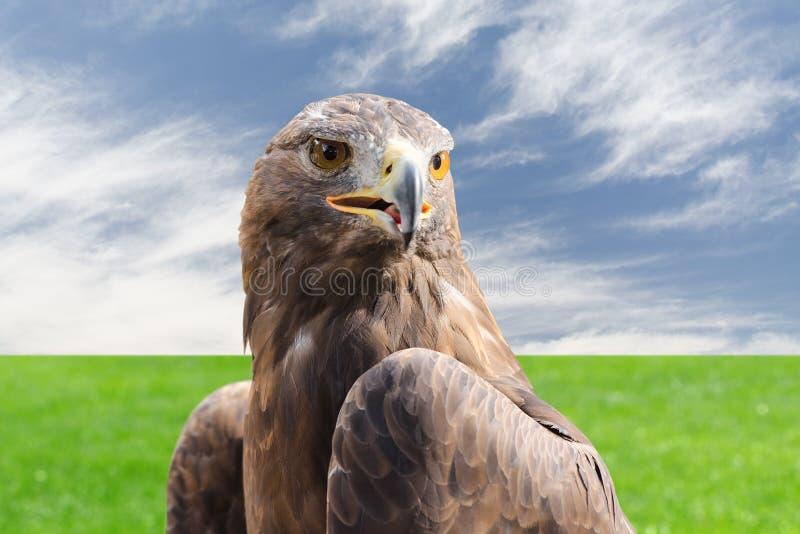 反对多云天空和草的鹫强的猛禽鸟 免版税库存图片
