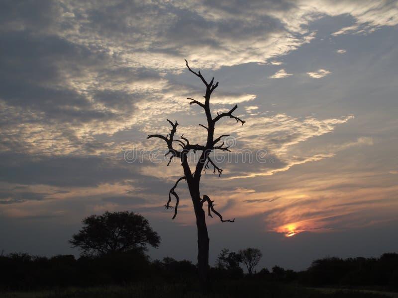 反对多云天空日落的死的树剪影 库存图片