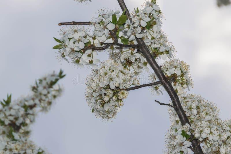 反对多云天空的开花的树分支 库存照片