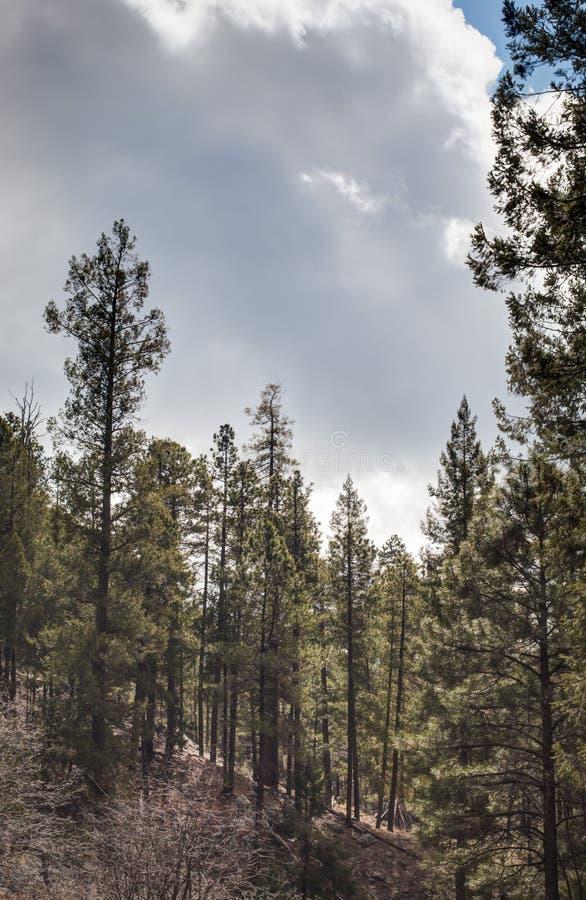 反对多云天空的松树在登上莱蒙,图森亚利桑那 免版税库存图片
