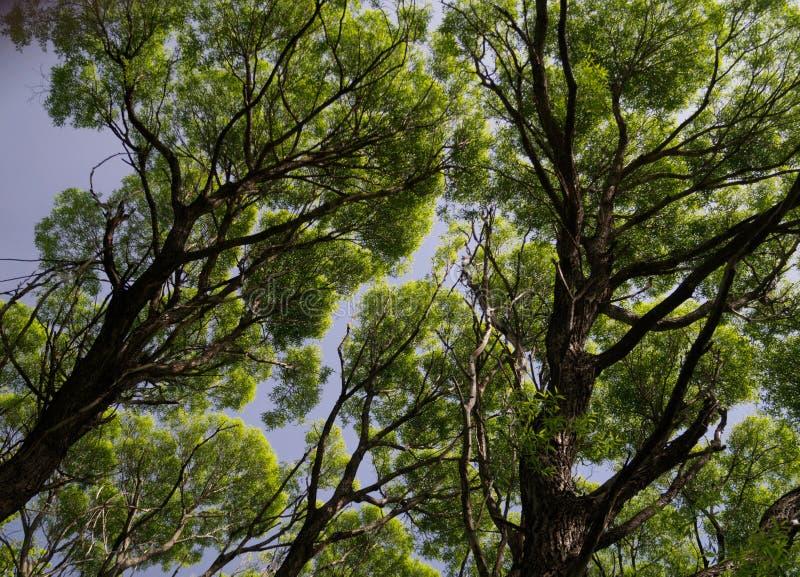 反对天空的巨型树 库存图片