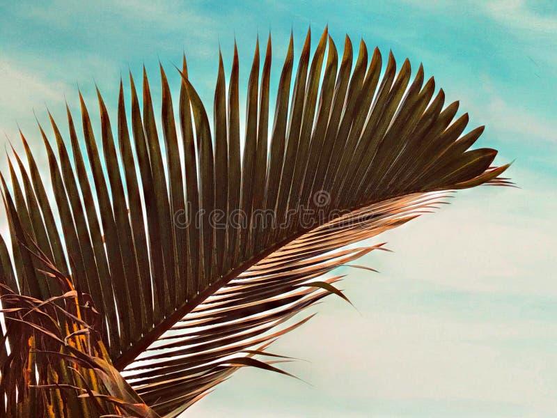 反对天空的干燥棕榈树 免版税库存照片
