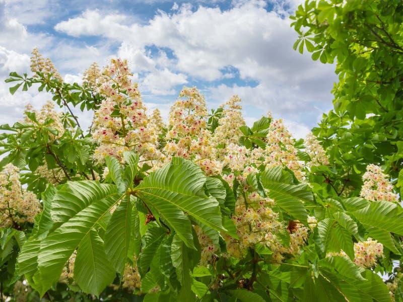 反对天空的开花的七叶树与云彩图片