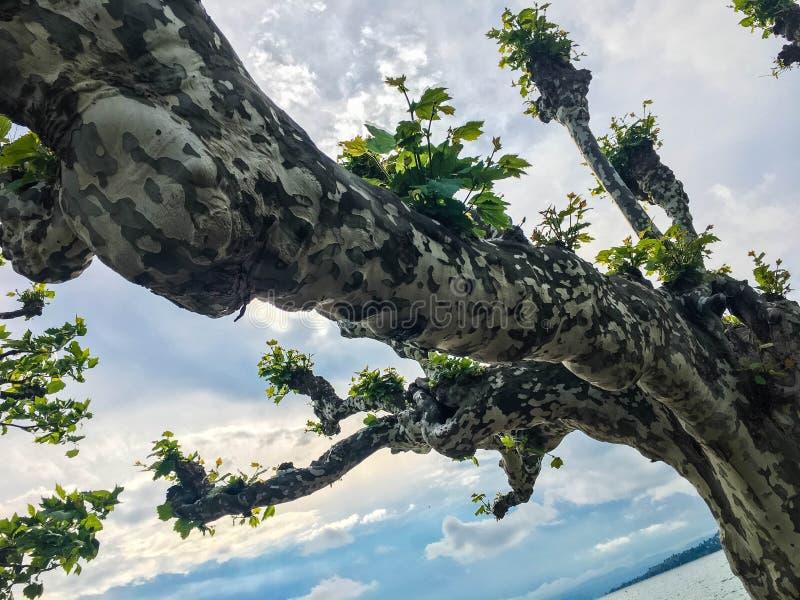 反对天空的扭转的树在湖附近 免版税库存图片