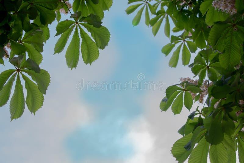 反对天空的栗子叶子 免版税库存照片