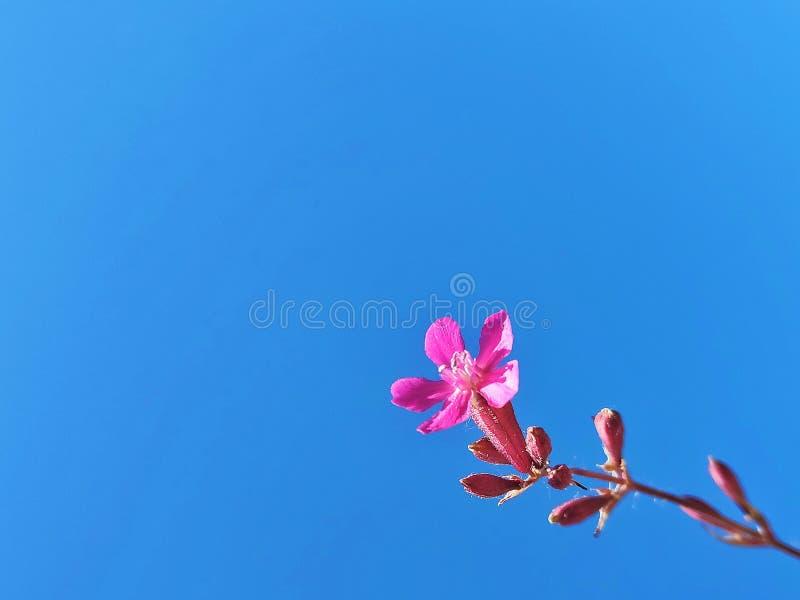 反对天空的桃红色花 免版税库存照片