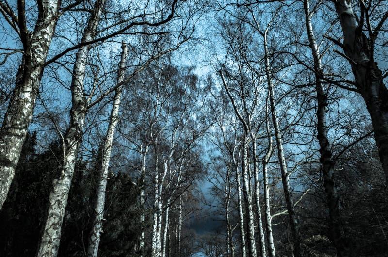 反对天空的桦树 免版税库存照片
