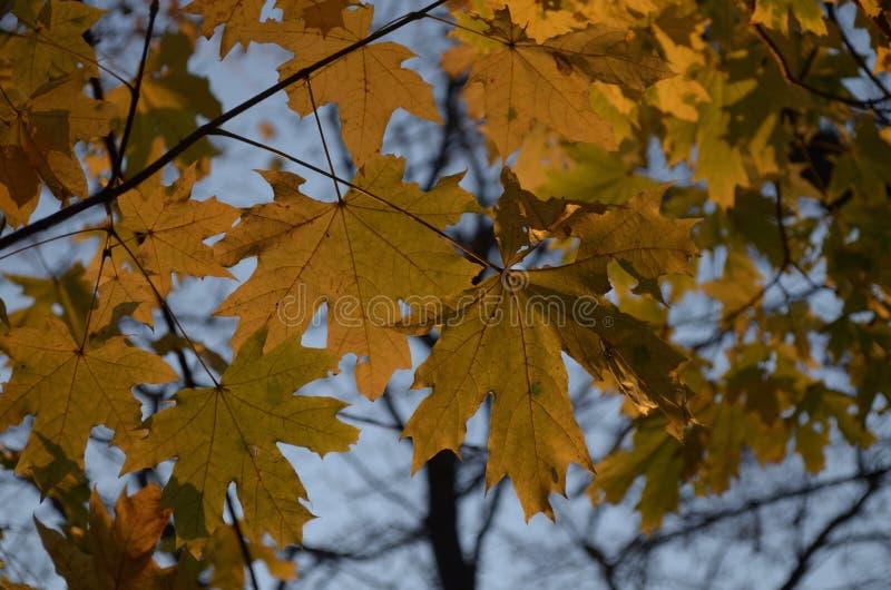 反对天空的秋季槭树叶子 免版税库存照片
