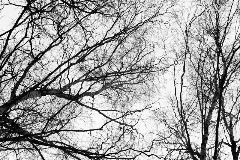 反对天空的贫瘠桦树分支 库存图片