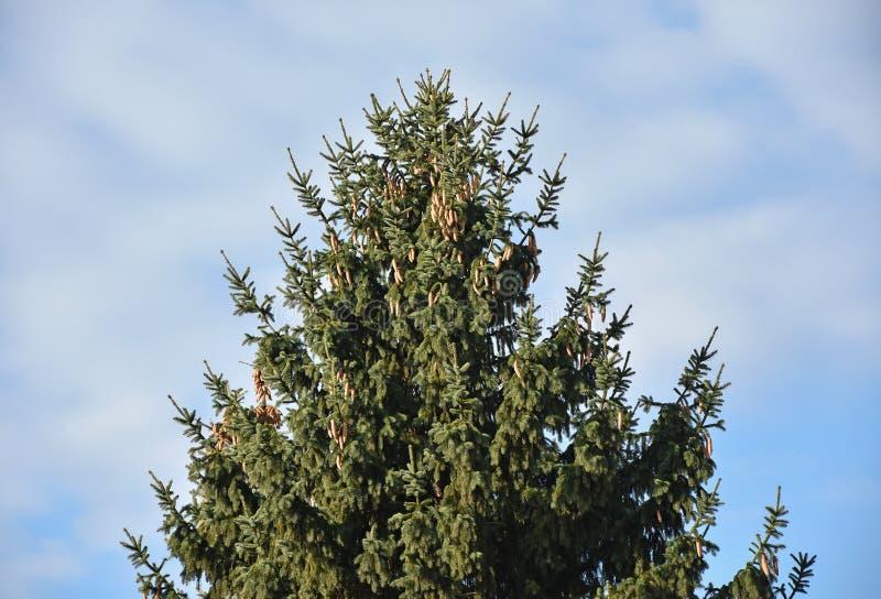 反对天空的高松树 免版税库存图片