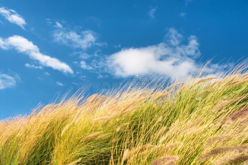 反对天空的麦田在大风天 免版税库存图片