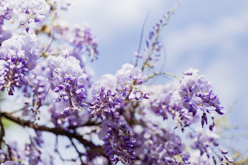 反对天空的紫藤开花 库存照片