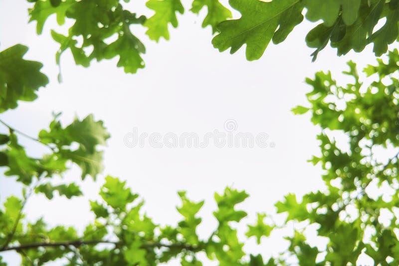 反对天空蔚蓝和白色云彩的年轻浅绿色的橡木叶子 免版税库存照片