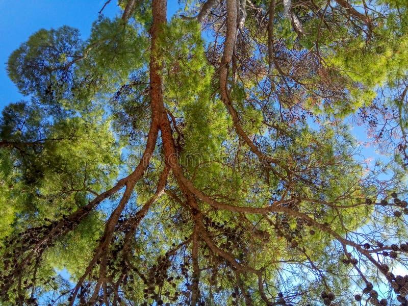 反对天空蔚蓝和白色云彩的高松树上面 库存图片