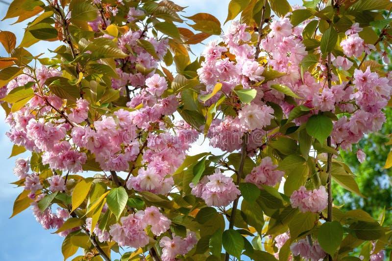 反对天空蔚蓝的佐仓花 日本樱桃分支与美丽的精美桃红色花的在开花的期间 免版税库存图片