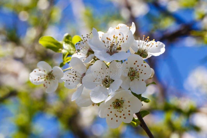 反对天空蔚蓝的开花的樱桃 樱花 背景蒲公英充分的草甸春天黄色 社会网络的背景 天然泉背景 库存照片