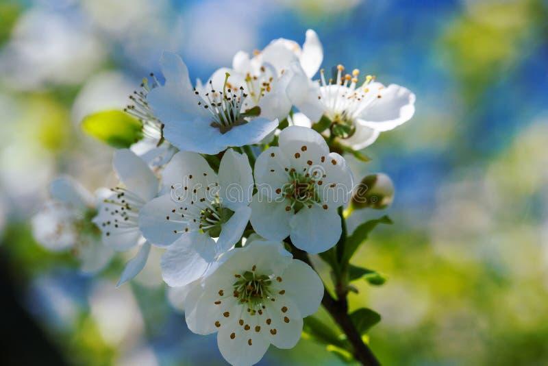 反对天空蔚蓝的开花的樱桃 樱花 背景蒲公英充分的草甸春天黄色 社会网络的背景 天然泉背景 免版税库存图片
