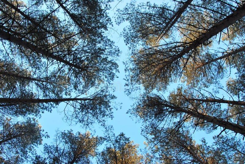 反对天空蔚蓝的杉木森林 库存图片