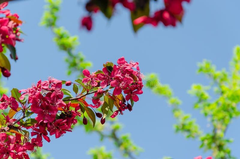 反对天空蔚蓝的桃红色苹果树开花 库存图片