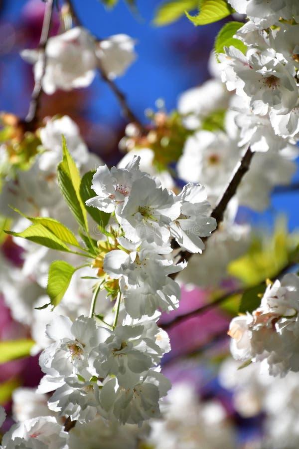 反对天空蔚蓝的樱花 免版税库存照片