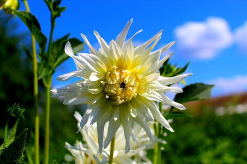 反对天空蔚蓝的白黄色大丽花花 ?? 库存照片
