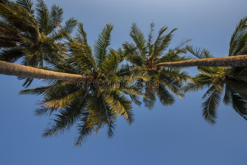 反对天空蔚蓝的美丽的甜可可椰子林场在热带海岛泰国 在树的新鲜的椰子在安达曼海, 库存照片