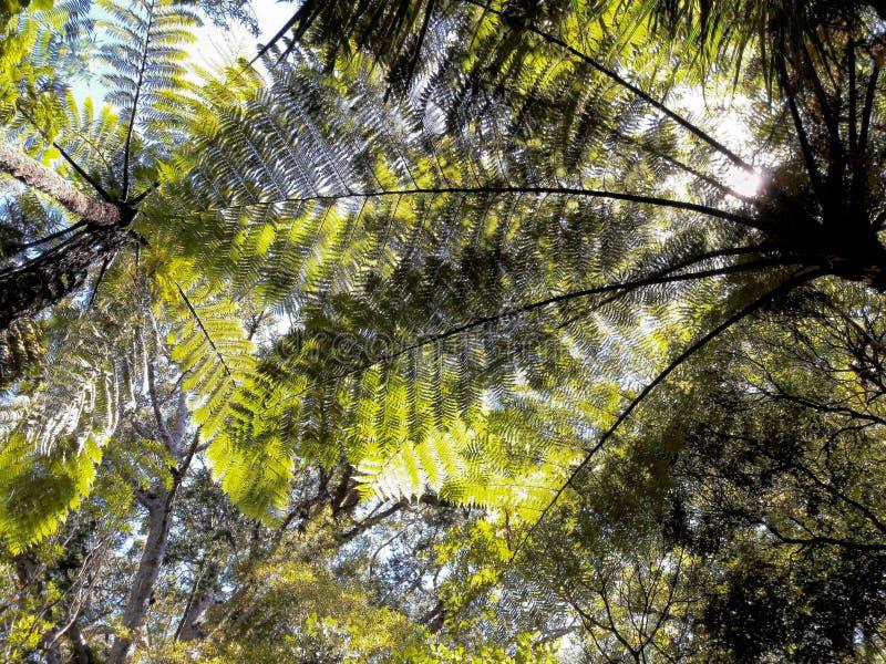 反对天空蔚蓝的蕨树梢 免版税库存照片