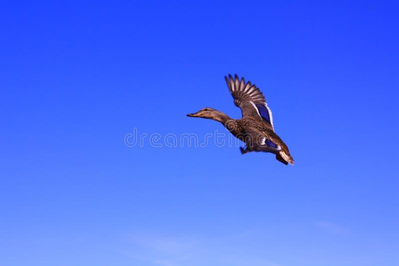 反对天空蔚蓝的飞行的鸭子 免版税图库摄影