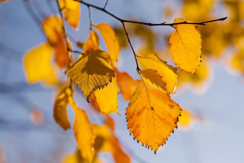 反对天空蔚蓝的黄色叶子在10月 库存照片