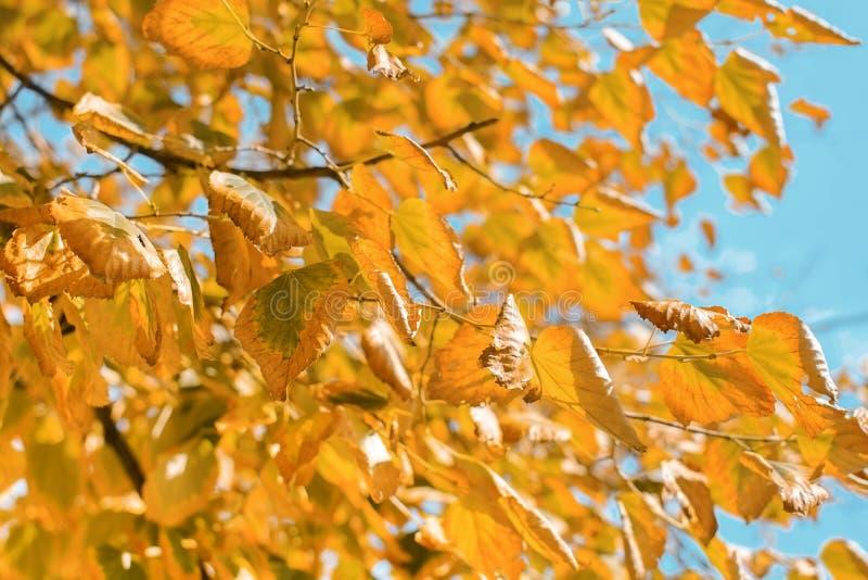 反对天空蔚蓝的黄色秋叶 免版税库存图片