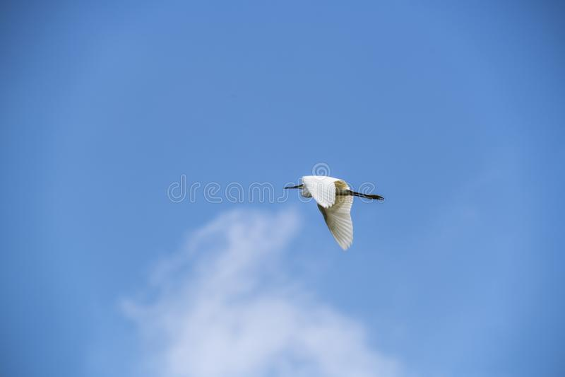 反对天空蔚蓝的Litte白鹭 库存图片