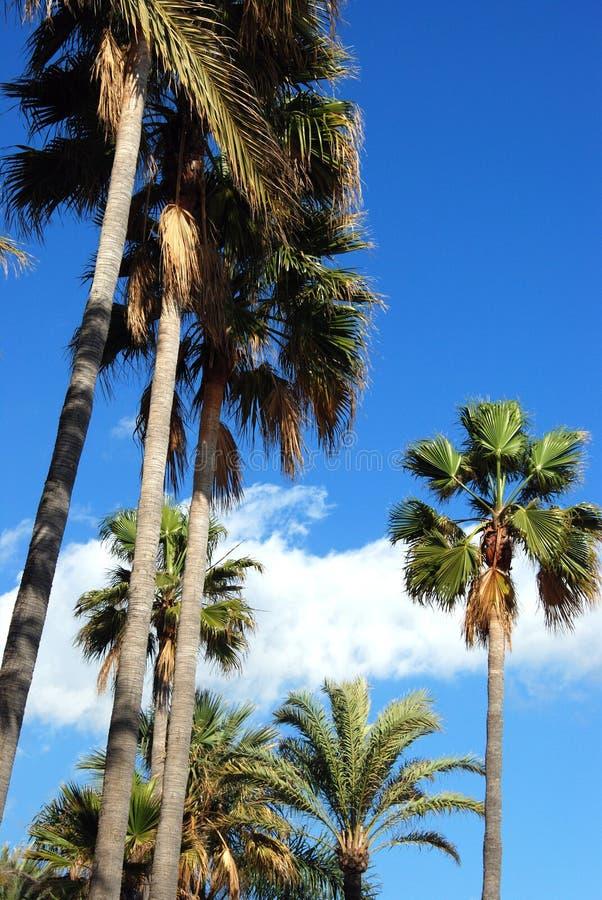 反对天空蔚蓝,西班牙的棕榈树 免版税库存照片