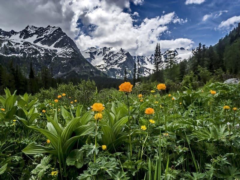 反对山和山湖的黄色领域花 花谷 积雪覆盖的山的反射在湖水中 免版税库存照片