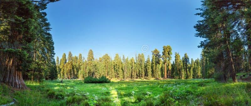 反对巨大的杉木森林全景的草甸 免版税库存照片