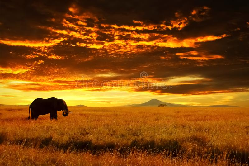 反对日落的孤独的大大象在大草原 Serengeti国家公园 闹事 坦桑尼亚 库存照片