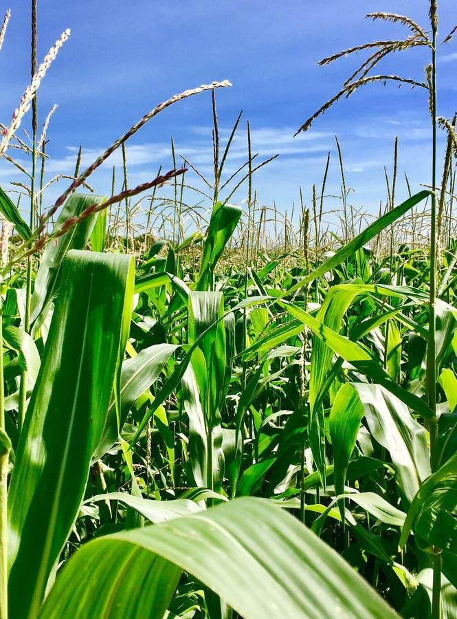 反对明亮的蓝天的玉米田 库存照片
