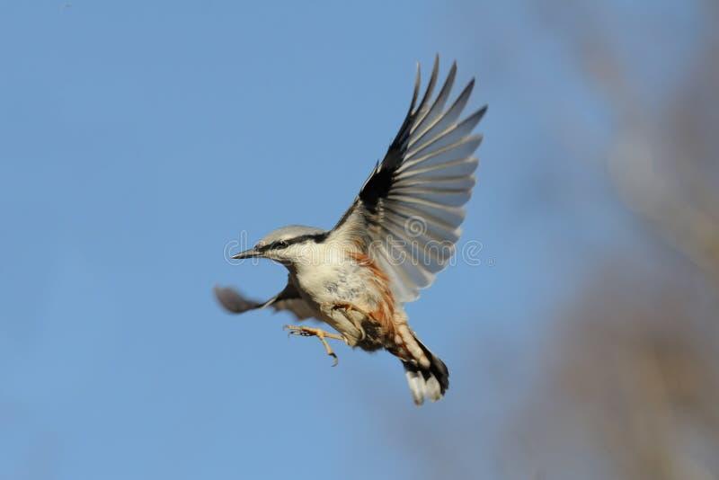 反对明亮的蓝天背景的飞行欧亚五子雀 库存照片