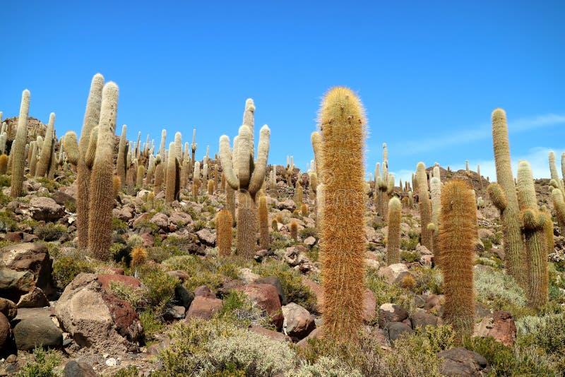 反对晴朗的天空蔚蓝的大的仙人掌厂在伊斯拉del Pescado或仙人掌岛,在乌尤尼盐沼盐舱内甲板的岩石露出,玻利维亚 免版税图库摄影