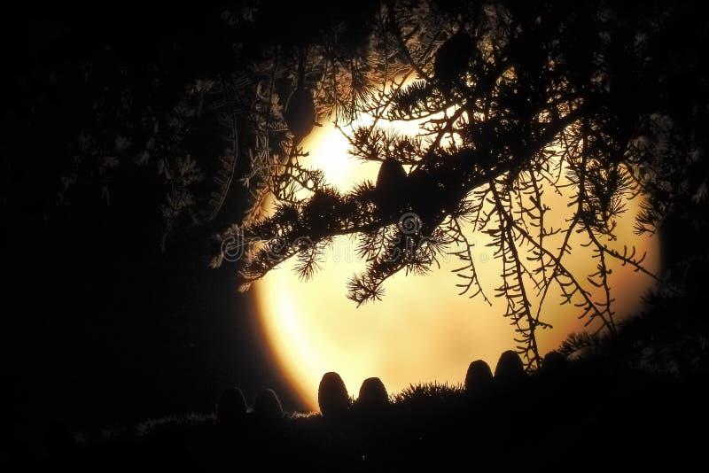 反对月亮的雪松锥体 免版税图库摄影