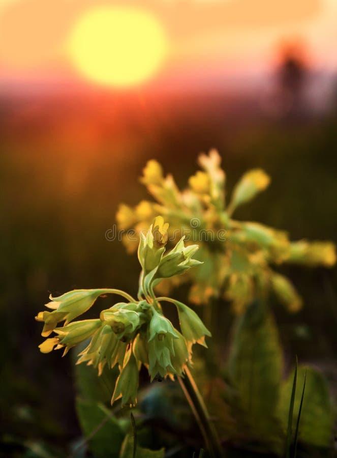 反对朝阳的开花的报春花樱草属Veris 免版税库存图片