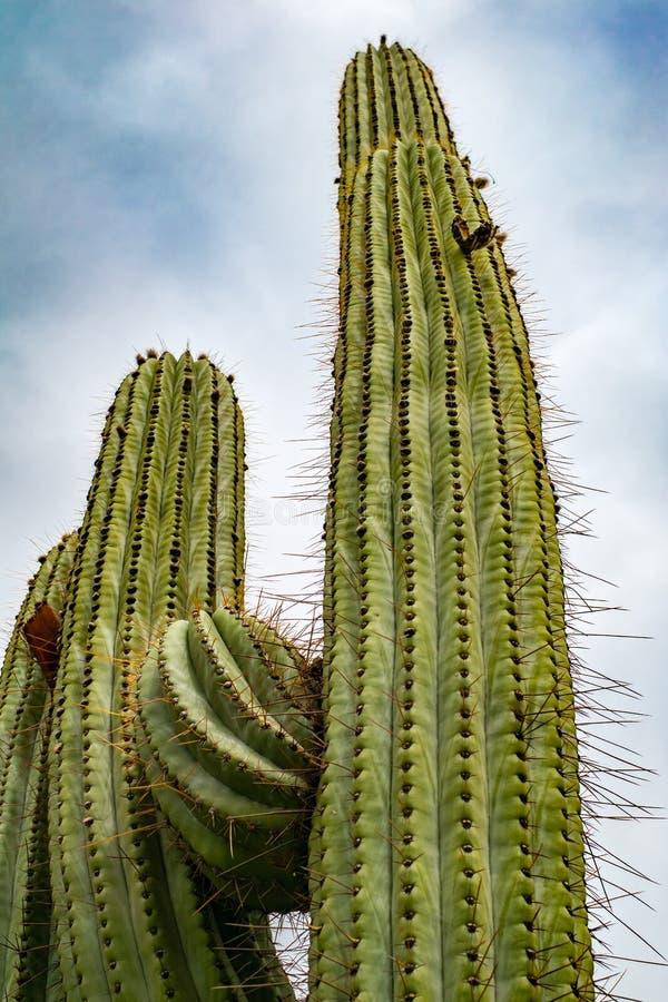 反对查寻视角的多云天空的柱仙人掌仙人掌在沙漠 库存照片