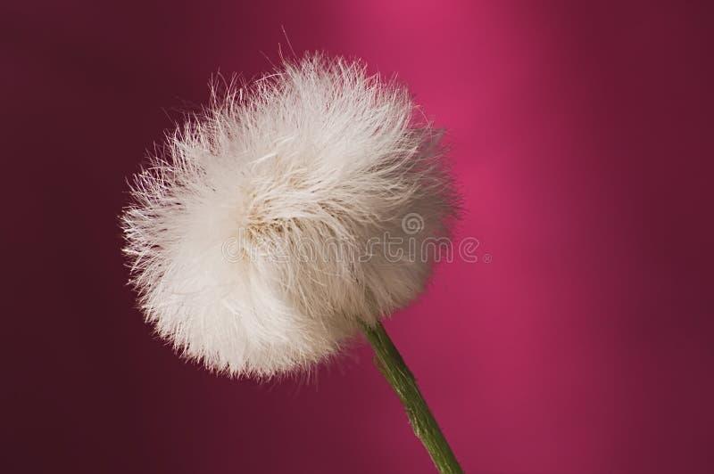 反对桃红色背景的白色松的蒲公英种子头 图库摄影